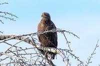 オジロワシとカワアイサ - 今日の鳥さんⅡ