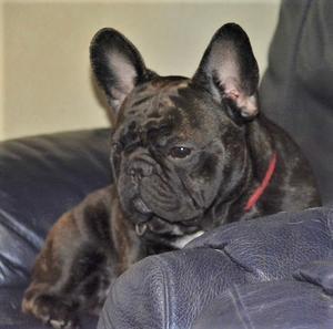 フレンチブルドッグ メリアちゃん久々のお便り♪♪ - THE ROYAL FAMILY         French bulldog breeder