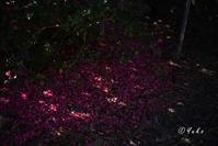 椿の下には。。。 / under the camellia... - Seeking Light - 光を探して。。。