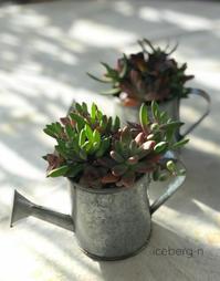 多肉植物の寄せ植えとヒヤシンス - 小さな庭 2