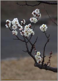 梅の花見頃の花も増えて来た - 野鳥の素顔 <野鳥と日々の出来事>