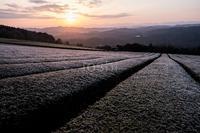 凍てつく茶畑3 - toshi の ならはまほろば