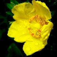 ・Shallowfocusedyellow bloom・ - - Foliage & Blooms Foto -