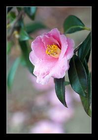 ピンクの椿 - Desire