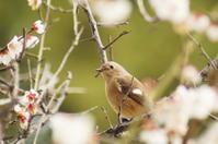 梅とジョウビタキ - 風見鶏日記