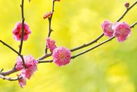 浜離宮恩賜庭園の菜の花と梅都会の春 - エーデルワイスPhoto