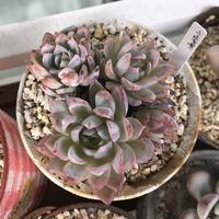 ピンクちゃん(。・ω・。) - miiの多肉植物