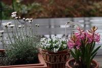 ヒヤシンス - お庭のおと