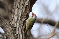アオゲラ - 気まぐれ野鳥写真
