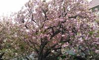 花ひらく🌸 - AMA ピアノと歌と管弦のコンクール