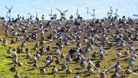 白鳥の湖ならぬ尾長鴨達の楽園!♪・・・ガバ沼 - 『私のデジタル写真眼』