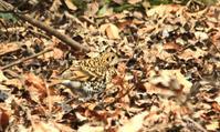 トラツグミ餌を探す - barbersanの野鳥観察