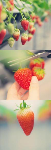 イチゴ*苺*いちご。 - Yuruyuru Photograph