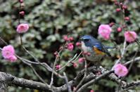 梅の花が随分咲きました・・・ - 鳥と共に日々是好日