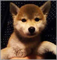 柴犬:雪姫 - 三千綱ブログ