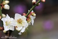 咲きだした梅の花をマクロレンズで(^^♪ - 自然のキャンバス