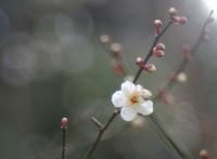 白梅 - feel a season