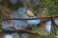 ニシオジロビタキPart5 - 近隣の野鳥を探して