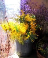 pace around * 春を呼ぶ「ミモザ祭り」黄色に惹かれる♪ - ぴきょログ~軽井沢でぐーたら生活~