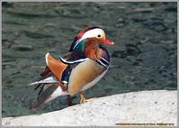 オシドリ陸に上がって - 野鳥の素顔 <野鳥と日々の出来事>