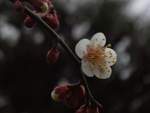梅がやっとほころび始めました - 気まぐれ日記・・・日々の備忘録