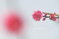 紅梅で楽笑 - 花々の記憶  happy momo
