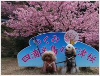 四浦半島、河津桜まつりその2 - さくらおばちゃんの趣味悠遊