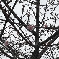 春の予感( ˘꒳˘) - miiの多肉植物