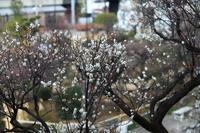 いよいよ梅の花のシ-ズン NO1 - くにちゃん4@撮影散歩