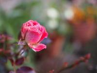 本日の庭の花達 - 55歳から専業主婦はじめました