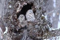 北の大地遠征1日目初めて2羽並びの「エゾフクロウ」さんカップル (*´∀`*)ノ - ケンケン&ミントの鳥撮りLifeⅡ