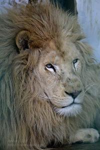 2019.1.18 東北サファリパーク☆ホワイトライオンのリオン&ライム【White lion couple】 - 青空に浮かぶ月を眺めながら