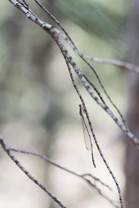 越冬トンボ観察-19千葉の自然公園でホソミイトトンボ越冬場所探索-5 - オヤヂのご近所仲間日記