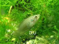 チョウセンブナという魚 - 湿地帯の武闘家