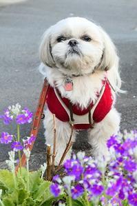 ポロにバレンタインプレゼント - ポロと歩く