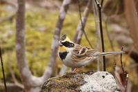 山麓の鳥さんたち・2♪~ミヤマホオジロ~ - happy-cafe*vol.2