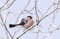 山麓の鳥さんたち・7♪~ウソ・2~ - happy-cafe*vol.2