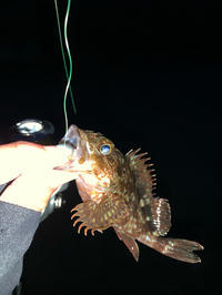 お久しぶりのメバメバメバルン♬(カサゴもね) - 広島の〜中学生Seabass angler
