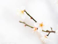白梅を白く - M2_pictlog