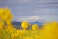菜の花の吾妻山公園 - ぶらり休暇