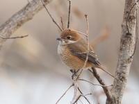 雑木林のモズ - コーヒー党の野鳥と自然 パート2