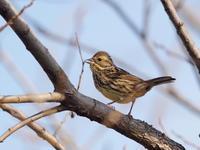 アオジが近い緑の丘公園 - コーヒー党の野鳥と自然 パート2