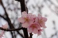 今年も咲き始めました。 - スポーツカメラマン国分智の散歩の途中で