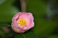 松山総合公園 椿園㊸ - かたくち鰯の写真日記2