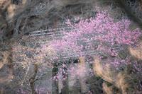 百草園の梅まつり〜② - 柳に雪折れなし!Ⅱ