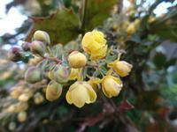 柊南天 - だんご虫の花