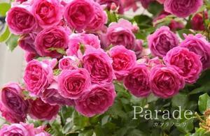 庭で一番華やかな薔薇 - カヲリノニワ