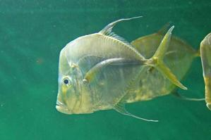 葛西臨海水族園:ブラジル沿岸~見おろす魚、豚魚に翔ぶ魚 - 続々・動物園ありマス。