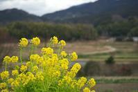 明日香・川原菜の花 - まほろば 庭いじり