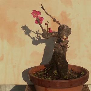 今年の梅 - 節約ミニ盆栽記